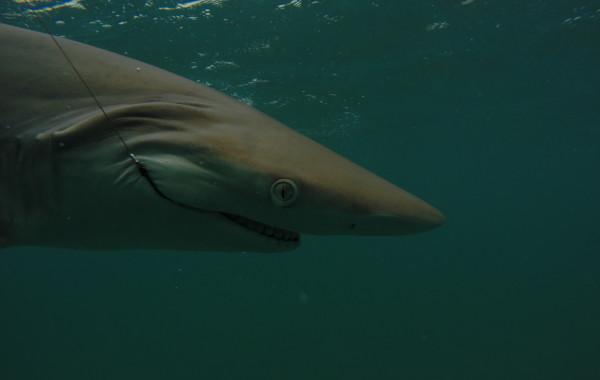 Shark Charters Gallery