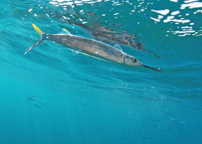 ballyhoo-live-bait-fishing